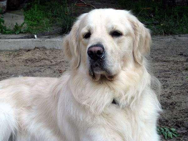 Золотистый ретривер, фото собака в доме квартире фотография