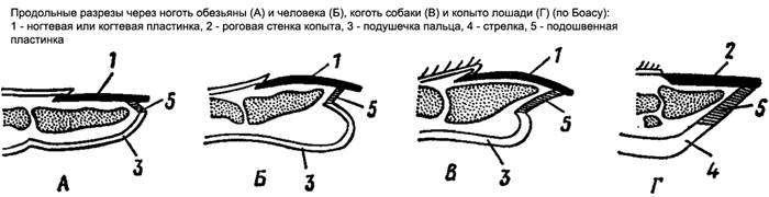 Продольные разрезы через ноготь обезьяны и человека, коготь собаки и копыто лошади, черный белый рисунок картинка