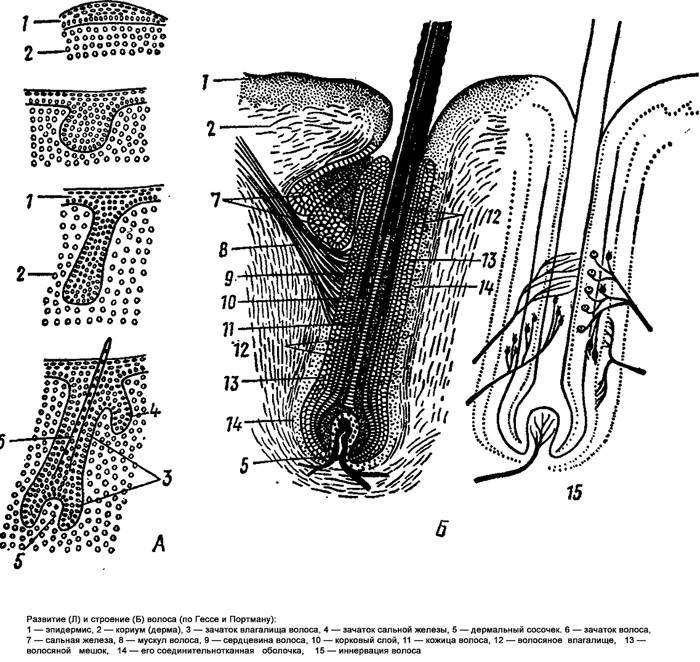 Развитие и строение волоса млекопитающего, черно-белый рисунок картинка