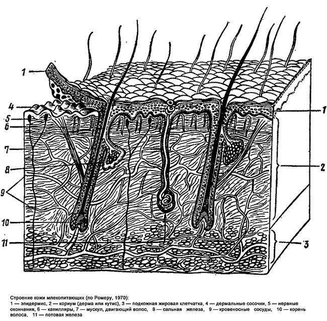 Строение кожи млекопитающий, рисунок черно-белая картинка