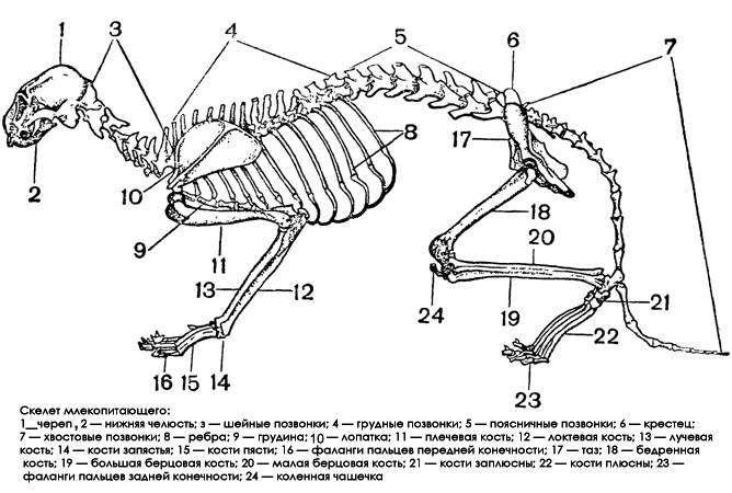 Схема скелета млекопитающего