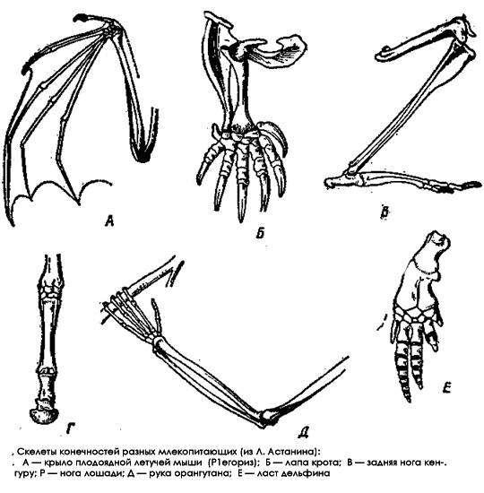 Скелеты конечностей разных