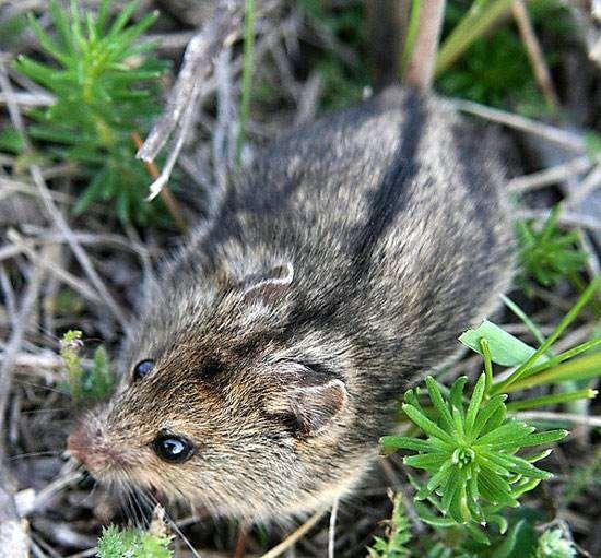 Степная мышовка (Sicista subtilis), фото грызуны фотография