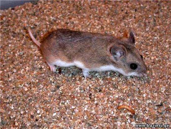Кавказская мышовка (Sicista caucasica), фото грызуны фотография