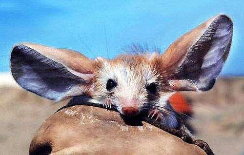 Длинноухий тушканчик (Euchoreutes naso), фото грызуны фотография
