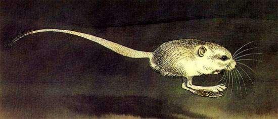 Пятипалый карликовый тушканчик (Cardiocranius paradoxus), рисунок грызуны картинка