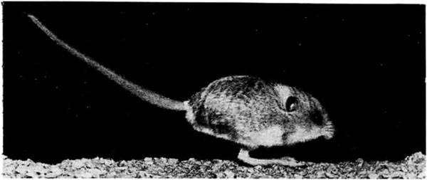 Пятипалый карликовый тушканчик (Cardiocranius paradoxus), фото грызуны фотография