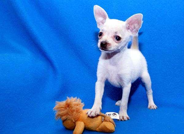 Щенок русского той-терьера, фото собака и ребенок фотография