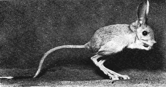 Тушканчик Северцова (Allactaga severtzovi), фото грызуны фотография