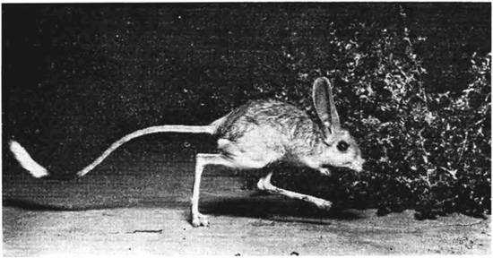 Тушканчик Северцова (Allactaga severtzovi), фото грызуны фотография черно белая