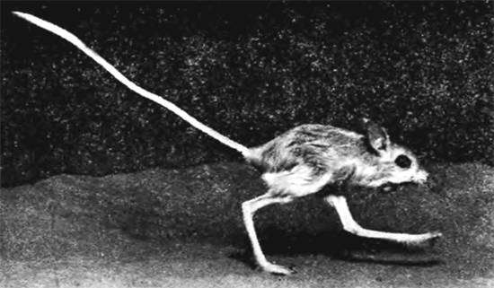 Гребнепалый тушканчик (Paradipus ctenodactylus), черное фото грызуны фотография