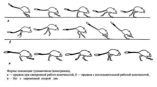 Формы локомоции тушканчиков, рисунок картинка
