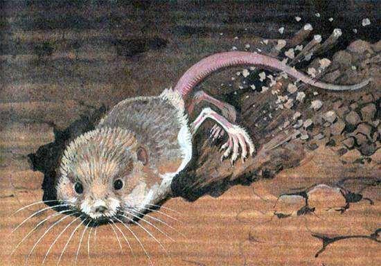Пятипалый карликовый тушканчик (Cardiocranius paradoxus), рисунок грызуны картинка изображение