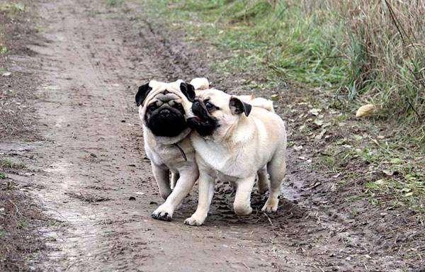 Мопсы, фото породы собак, фотография собаки