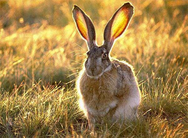 Толай, заяц-толай  (Lepus tolai), фото зайцеобразные фотография