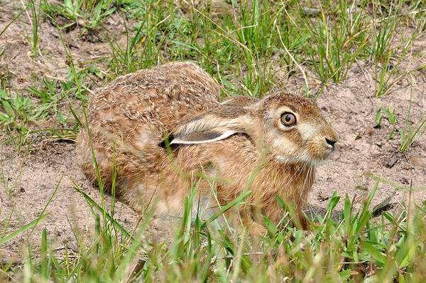 Заяц беляк (Lepus timidus), фото зайцеобразные фотография