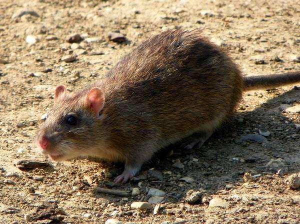 Серая, или амбарная крыса, пасюк (Rattus norvegicus), фото фотография грызуны
