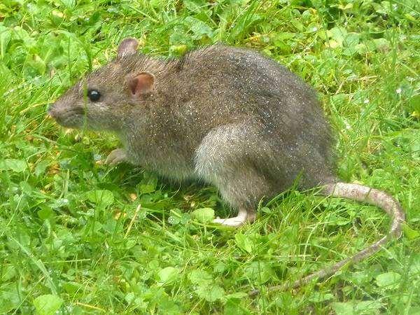Серая, или амбарная крыса, пасюк (Rattus norvegicus), фото фотография картинка грызуны