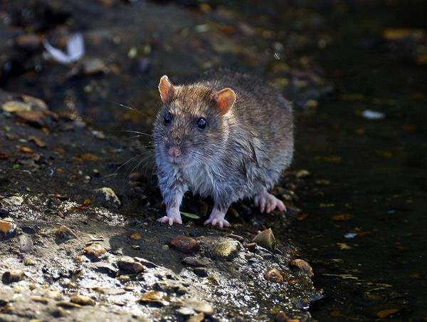 Черная крыса (Rattus rattus), фото фотография картинка грызуны