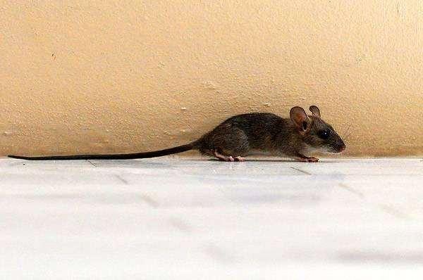 Черная крыса (Rattus rattus) молодое животное, фото фотография грызуны