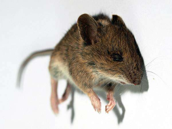 Домовая мышь (Mus musculus), фото фотография картинка грызуны