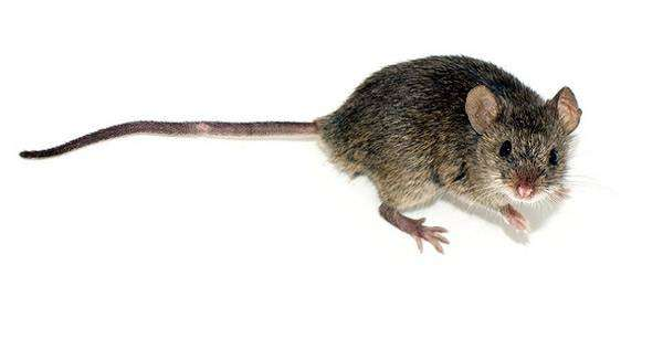 Пенис с ушами от мыши