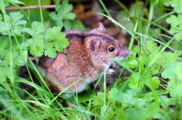 Полевая мышь (Apodemus agrarius), фото фотография грызуны