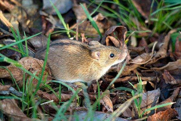 Полевая мышь (Apodemus agrarius), фото картинка грызуны