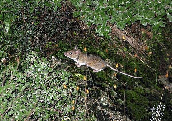 Малоазиатская мышь (Apodemus mystacinus), фото фотография картинка грызуны