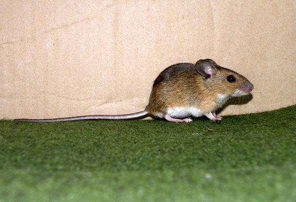 Желтогорлая мышь (Apodemus flavicollis), фото фотография грызуны