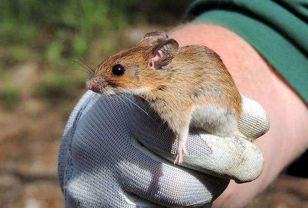Желтогорлая мышь (Apodemus flavicollis), фото картинка грызуны