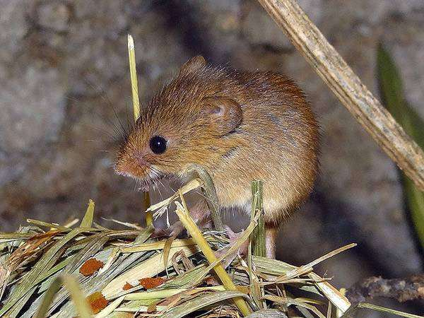 Мышь-малютка (Micromys minutus), фото фотография грызуны