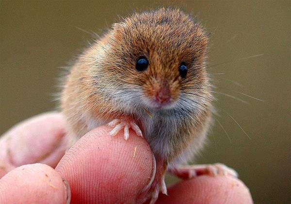 Мышь-малютка (Micromys minutus), фото картинка грызуны