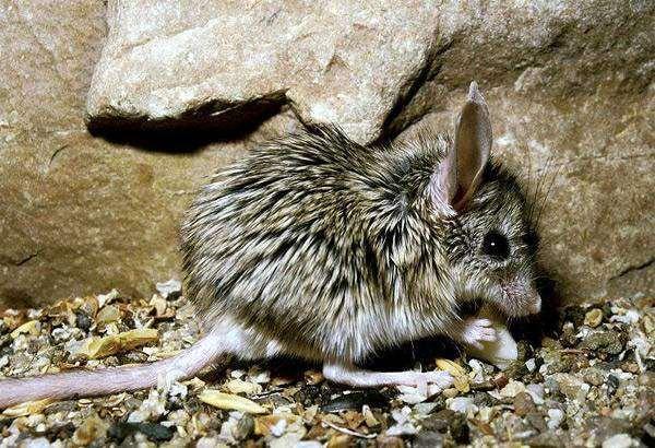 Мышевидный хомячок (Calomyscus bailwardi), фото грызуны фотография