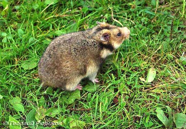 Хомяк Радде (Mesocricetus raddei), фото фотография картинка грызуны