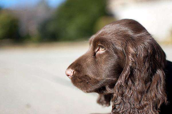 Фильд-спаниель, фото собаки, фотография породы собак