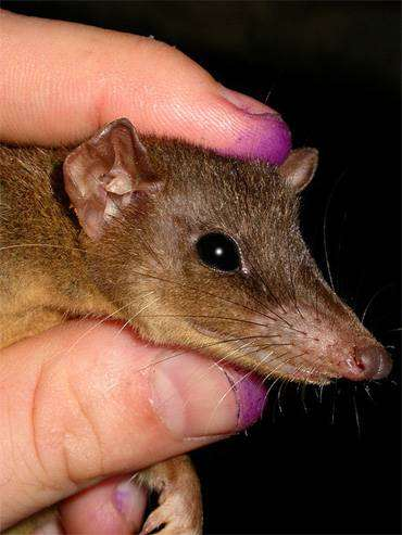 Длиннохвостая сумчатая крыса (Murexia longicaudata), фото сумчатые животные фотография картинка
