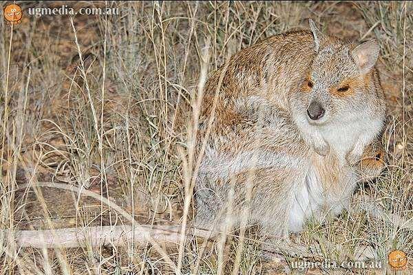 Очковый кенгуру (Lagorchestes conspicillatus), фото сумчатые животные фотография картинка