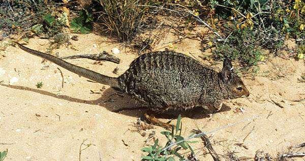 Полосатый валлаби-заяц, или полосатый кенгуру (Lagostrophus fasciatus), фото сумчатые животные фотография картинка