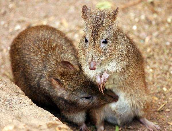 Трёхпалый крысиный потору, настоящая кенгуровая крыса (Potorous tridactylus), фото сумчатые животные фотография картинка