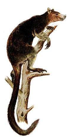 Короткохвостый кенгуру, или квокка (Setonyx brachyurus), картинка сумчатые животные рисунок