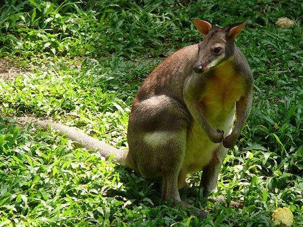 Красноногий филандер, или обожжённый кенгуру (Thylogale stigmatica), фото сумчатые животные фотография картинка