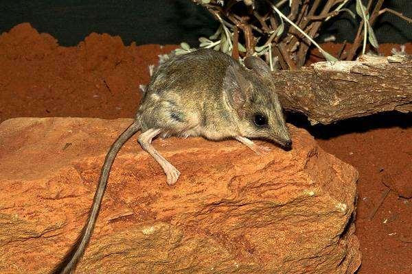 Сумчатый тушканчик (Antechinomys laniger), фото хищные сумчатые животные фотография картинка