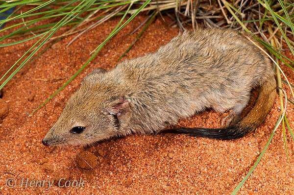 Гребнехвостая мышевидка-мульгара, или сумчатая мышь (Dasycercus cristicauda), фото хищные сумчатые животные фотография картинка