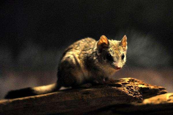Двугребнехвостая сумчатая мышь, или гребнехвостая сумчатая крыса (Dasyuroides byrnei), фото хищные сумчатые животные фотография картинка