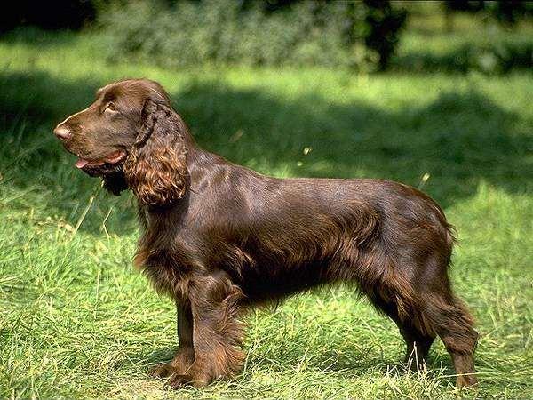Филд-спаниель, фото собаки, фотография породы собак