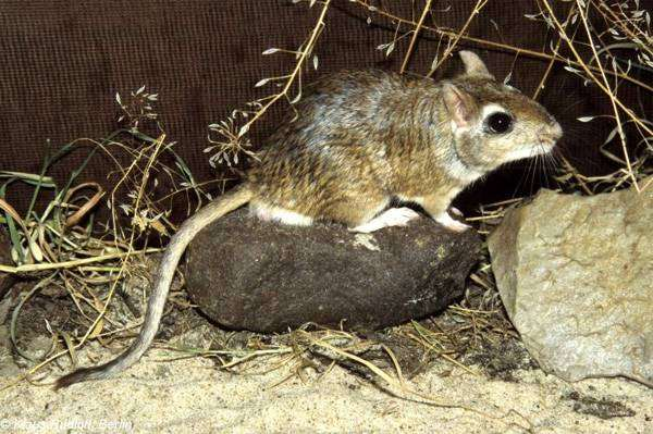 Тамарисковая песчанка (Meriones tamariscinus), фото грызуны фотография картинка