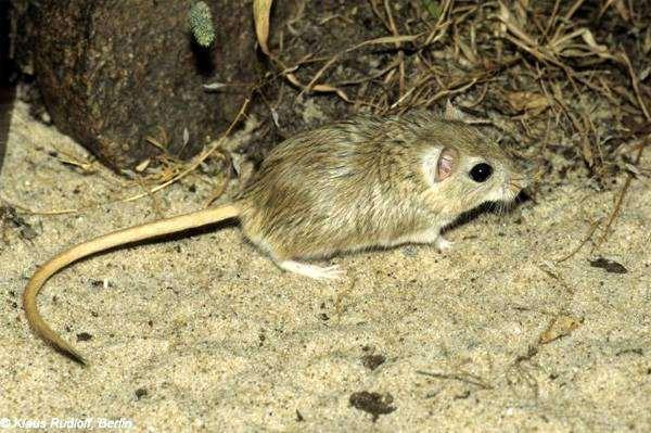 Полуденная песчанка (Meriones meridianus), фото грызуны фотография картинка