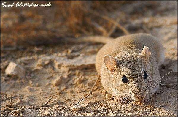 Краснохвостая песчанка (Meriones libycus [= erythrourus]), фото грызуны фотография картинка
