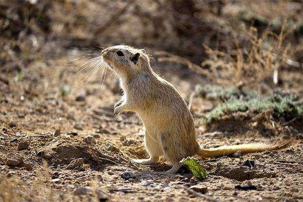 Большая песчанка (Rhombomys opimus), фото грызуны фотография животные картинка